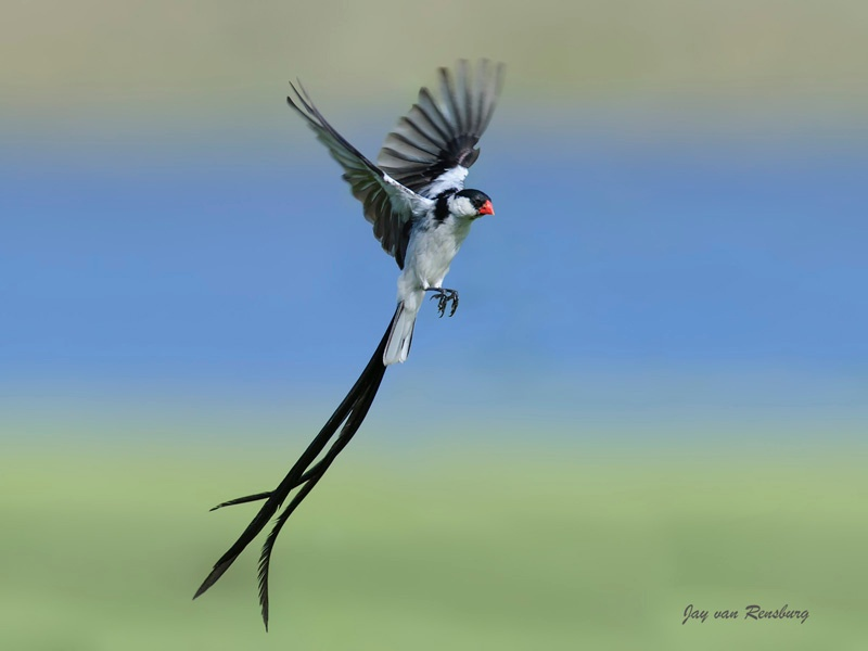 Pin-tailed Whydah - Birds