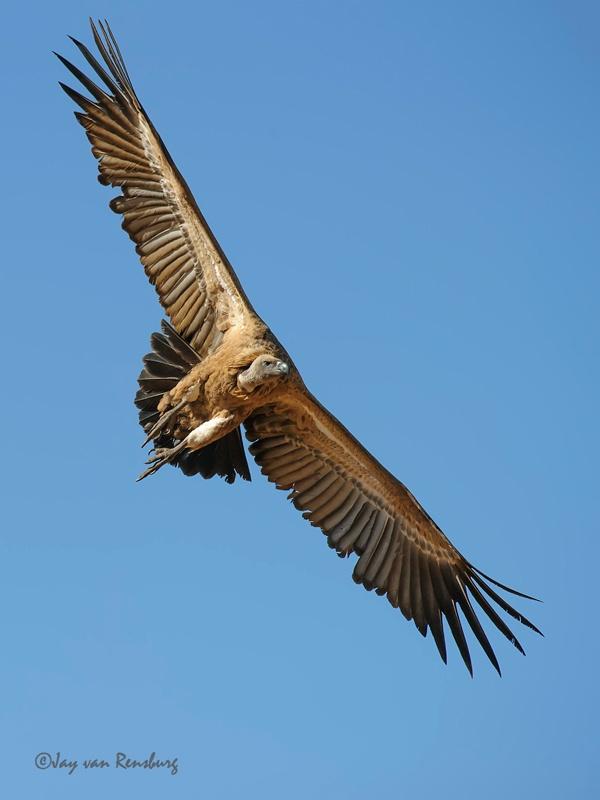 Soaring Cape Vulture - Vultures