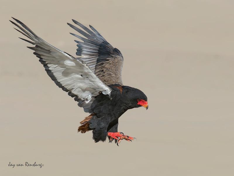 Bateleur Landing - Raptors