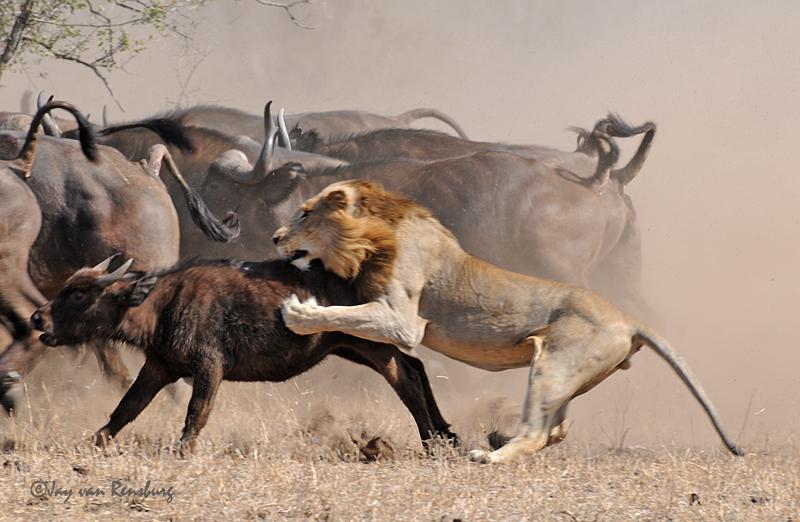 1st Lion attack part 3 - Lion vs Buffalo