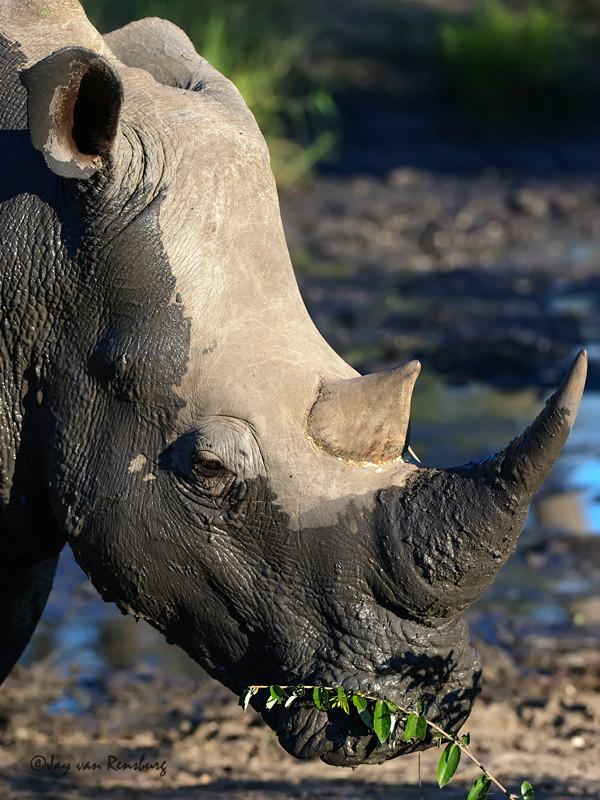 Peaceful - Rhino