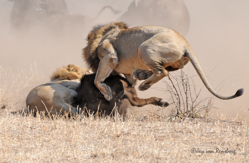 2nd Male Lion join part 2 - Lion vs Buffalo
