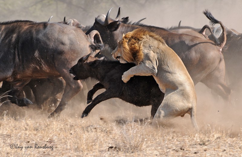 1st Lion attack part 4 - Lion vs Buffalo