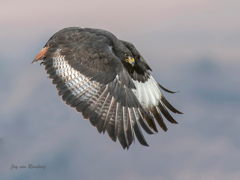 Jackal Buzzard pose - Raptors