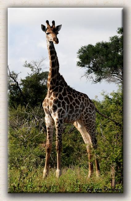 Girrafe - Zebra & Giraffe