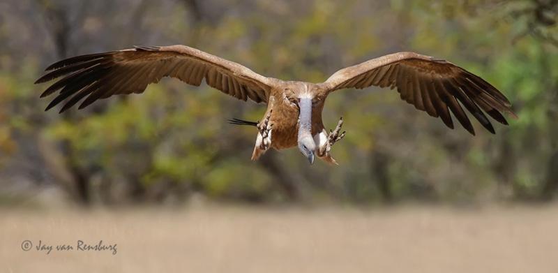 Focus! - Vultures