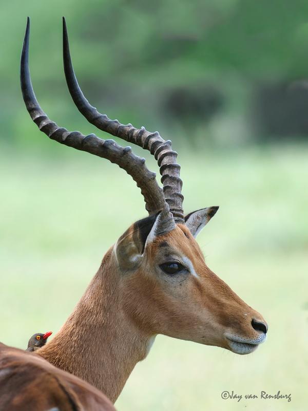 Impala ram - Antelope
