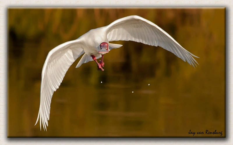African Spoonbill 1 - Birds in flight