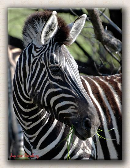 Zebra - Zebra & Giraffe