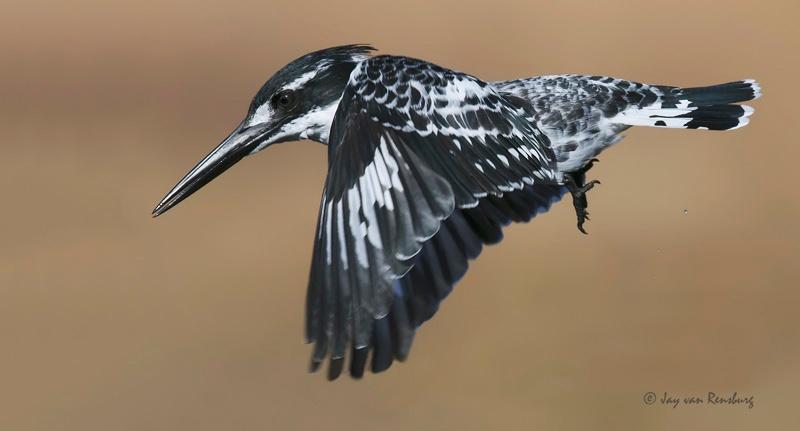 Pied Kingfisher - Kingfishers