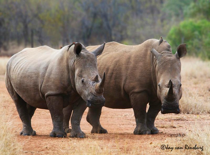 White Rhino - Rhino