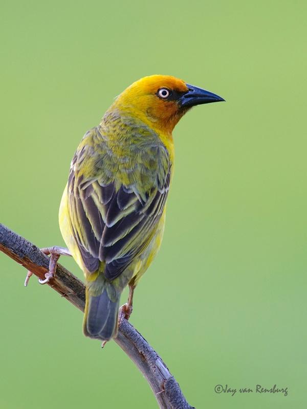 Cape Weaver - Birds