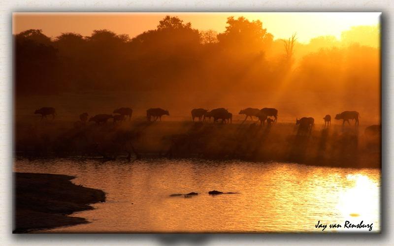 Buffalo Sunset - African Sunset