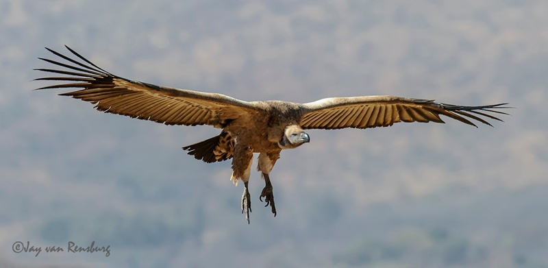 Coming in to land - Vultures