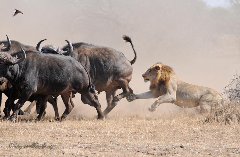 1st Lion Attack part 2 - Lion vs Buffalo