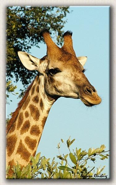 Giraffe close-up - Zebra & Giraffe