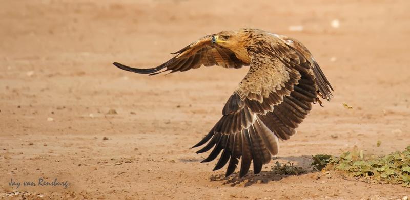 Tawny take-off - Raptors