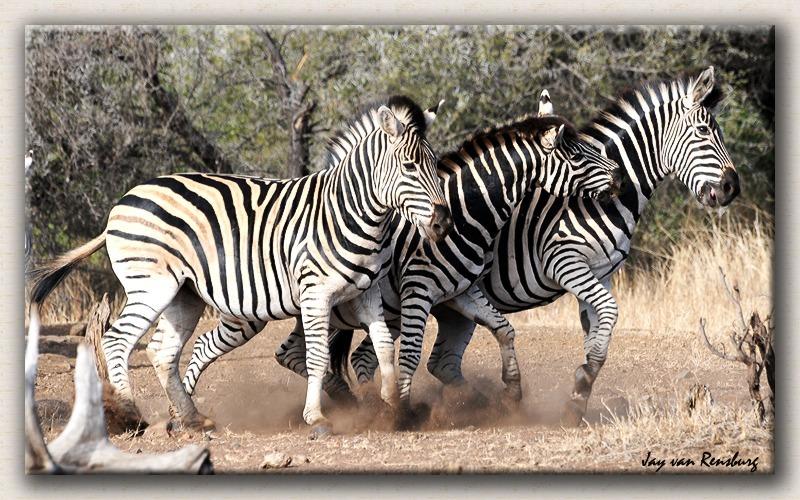 Zebra's on the move - Zebra & Giraffe