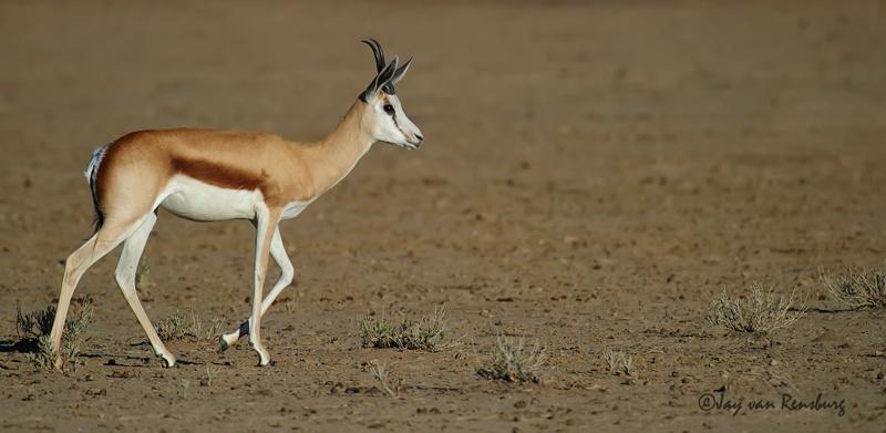 Strolling - Antelope