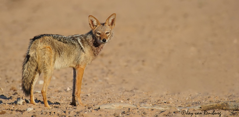 Black backed Jackal - Carnivores