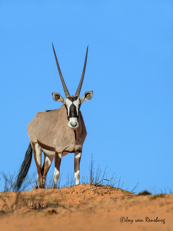 Gemsbok - Antelope