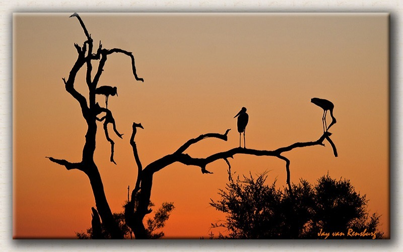Saddlebill Stork Sunset - African Sunset