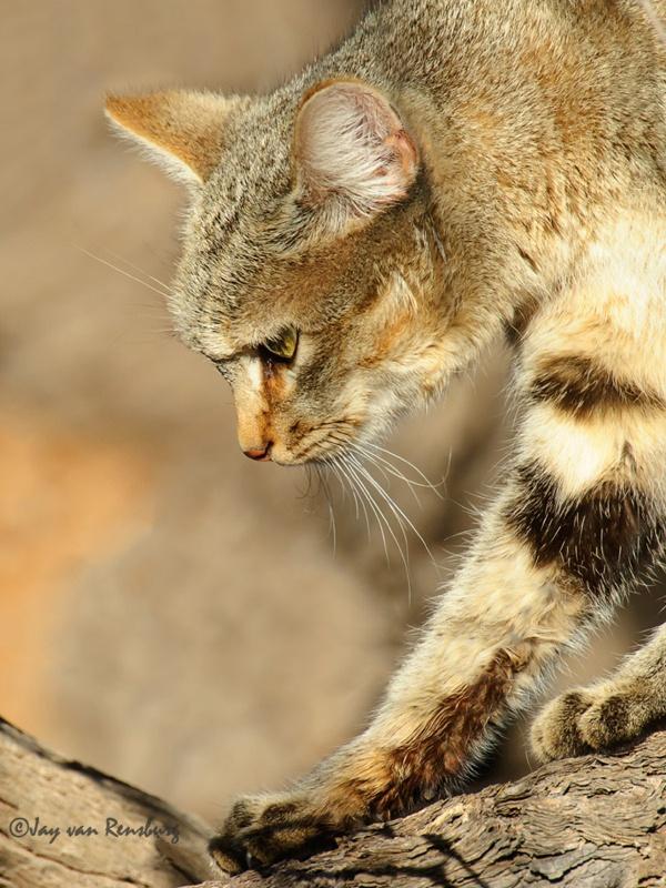 African Wild Cat 1 - Carnivores