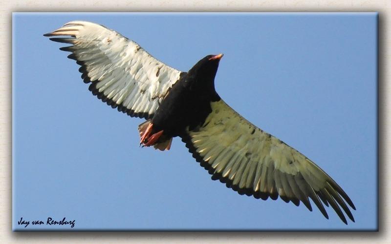 Bateleur Eagle - Birds in flight
