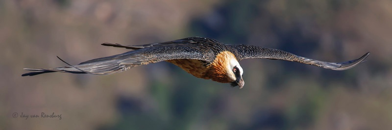 Adult Bearded Vulture - Vultures