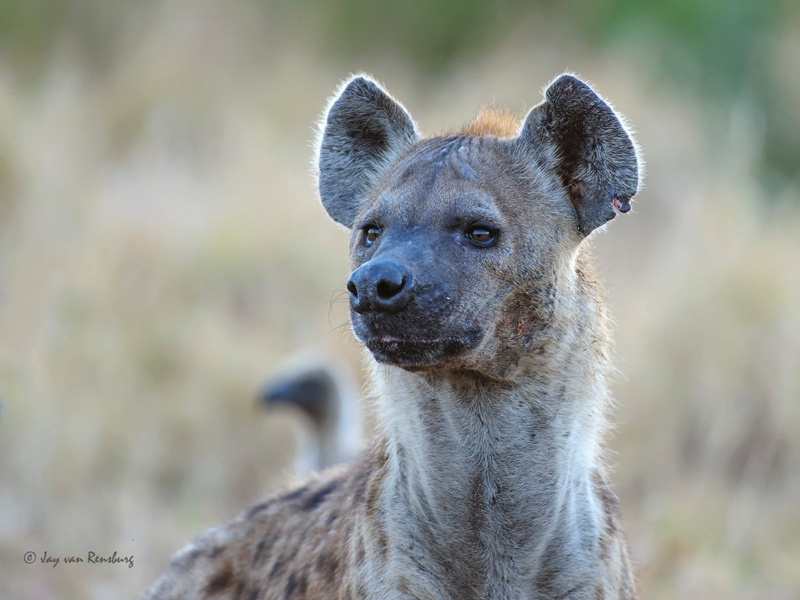 Lookout Hyena - Carnivores