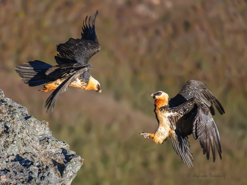 Bearded Vultures - Vultures