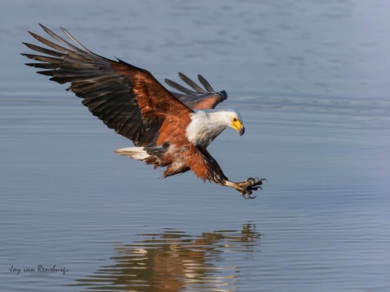 Fish Eagle - Raptors