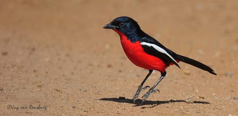 Crimson Breasted Shrike - Birds