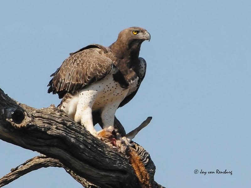 Marshall Eagle with prey - Raptors