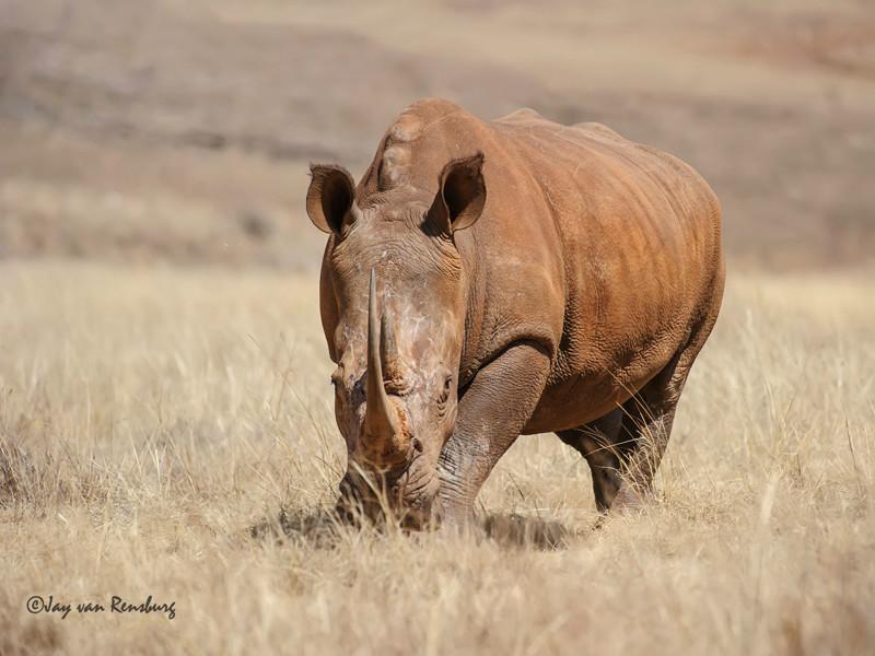 Majestic - Rhino