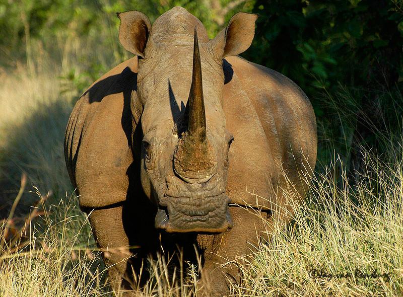 White Rhino 1 - Rhino