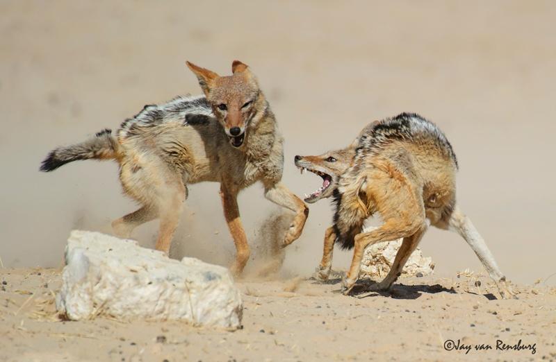 Duelling Jackal - Carnivores