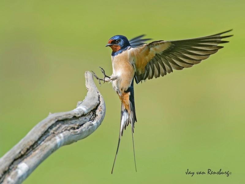 Barn Swallow - Birds