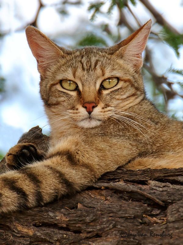 African Wild Cat portrait - Carnivores