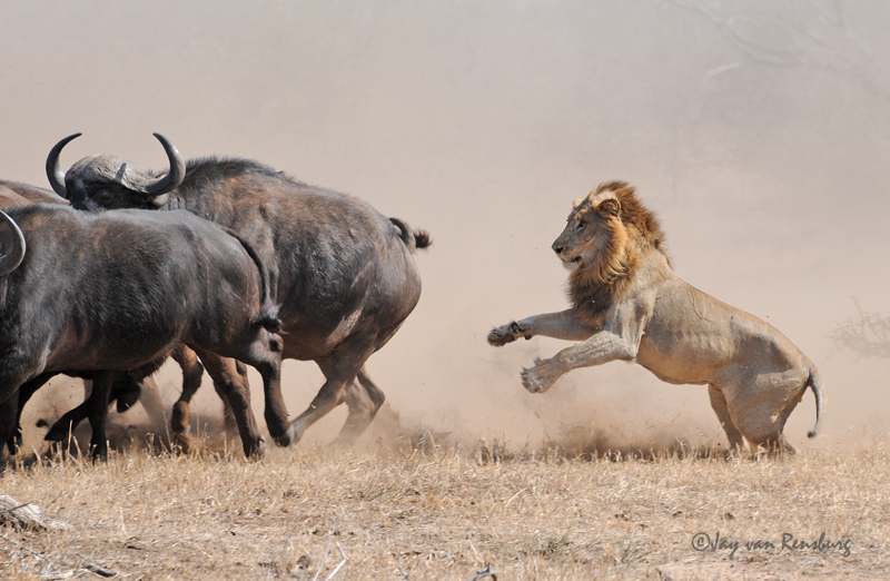 1st Lion attack - Lion vs Buffalo