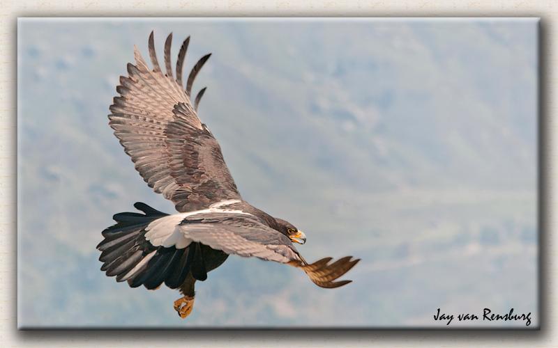 Verreaux's Eagle 4 - Birds in flight