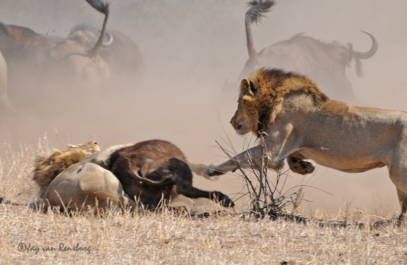 2nd Male Lion joining in - Lion vs Buffalo