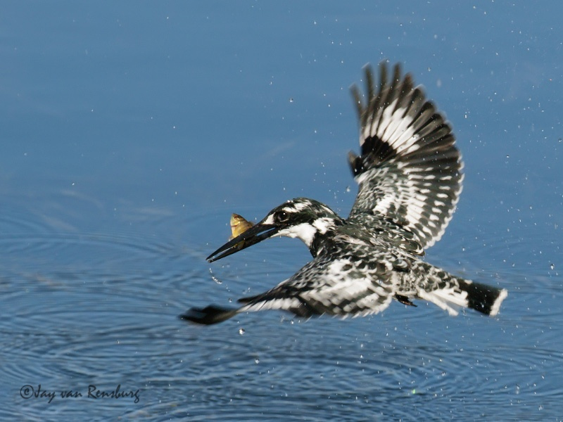 Pied with catch - Kingfishers