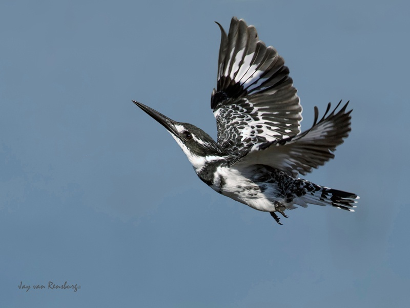 Pied ballerina - Kingfishers