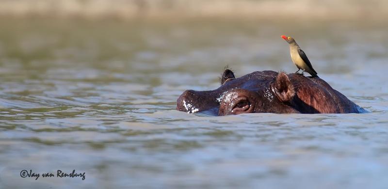 Hippo perch - Hippo