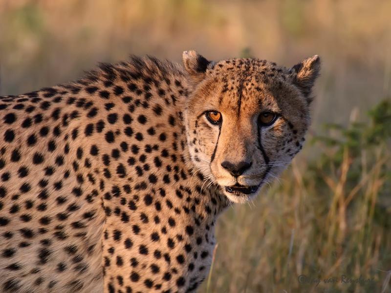 Cheetah - Big Cats
