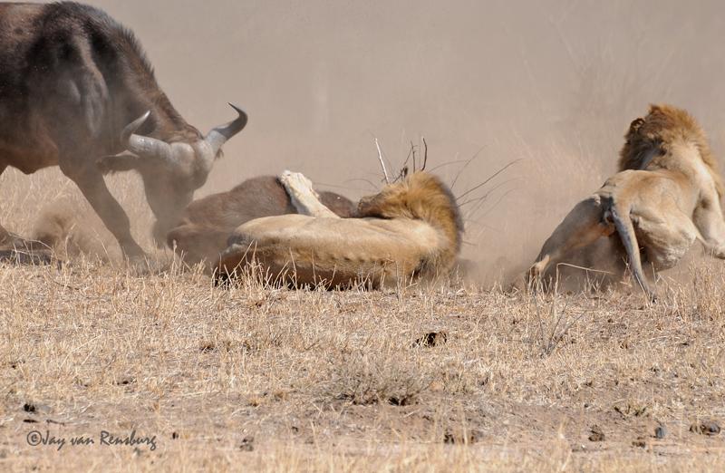 Female Buffalo moving in - Lion vs Buffalo