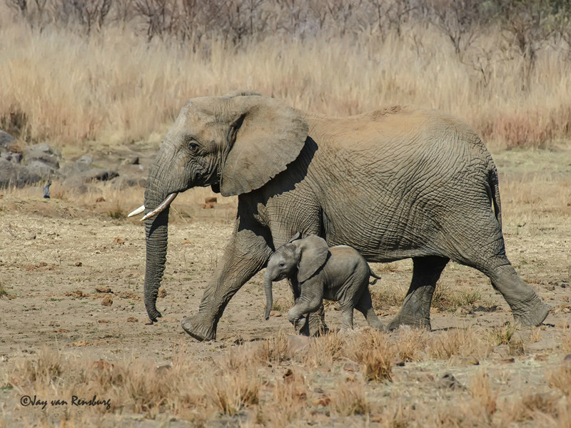 Mom and youngster - Elephant