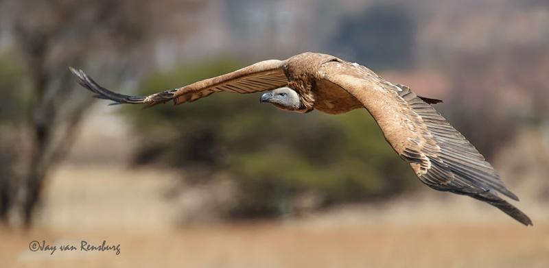 Cape Vulture - Vultures