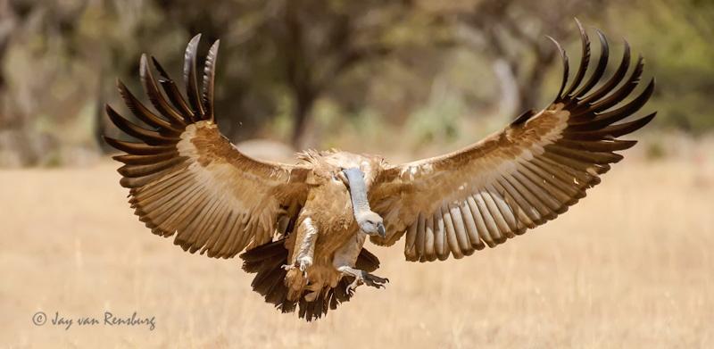 - Vultures